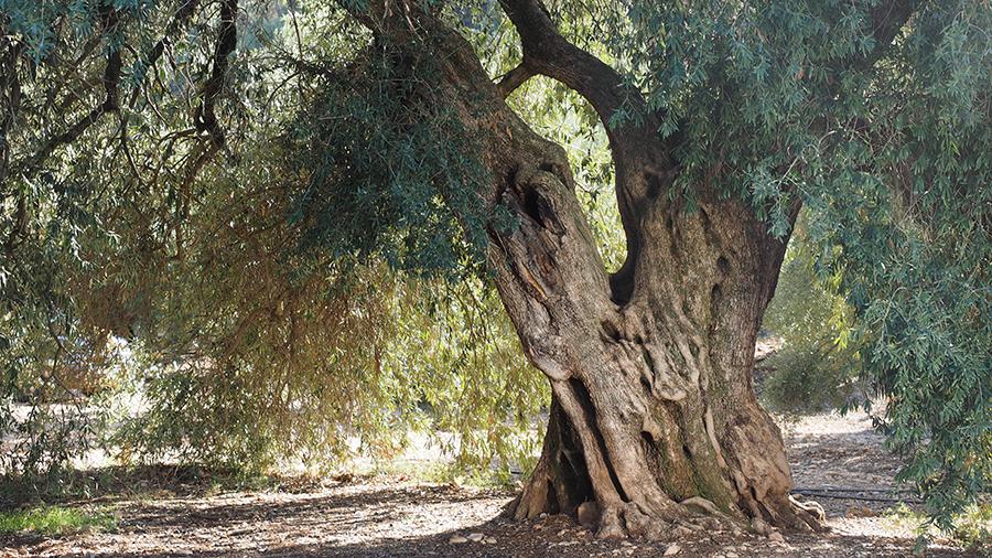 olivo-arroyo-ojanco