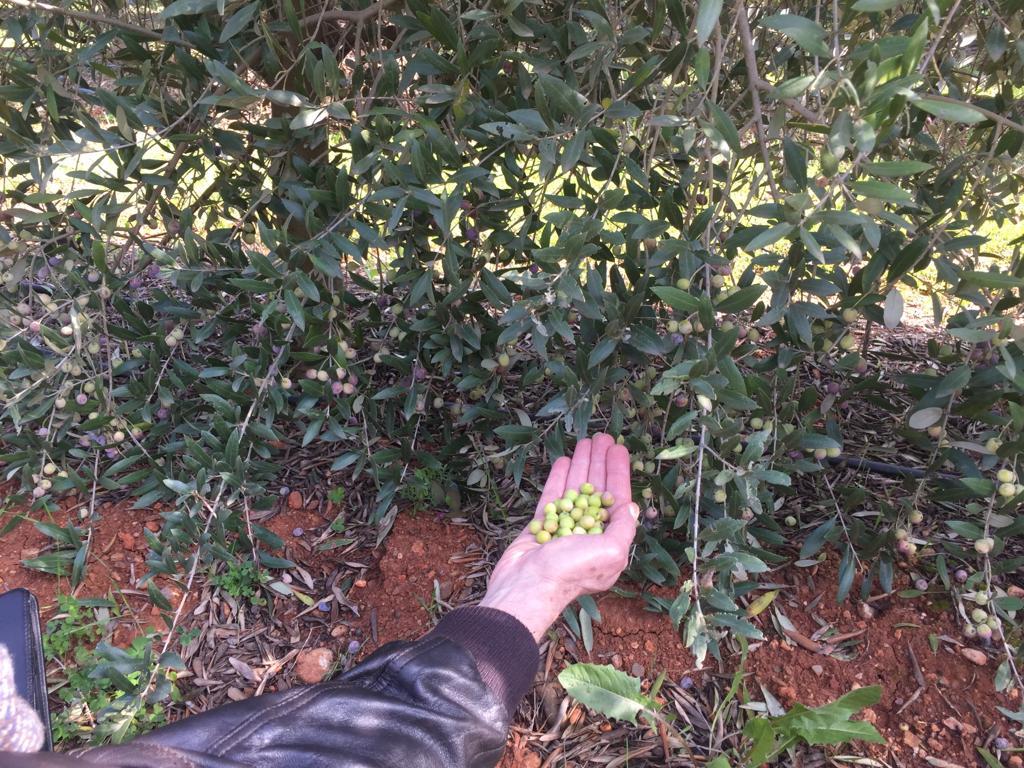 Bacterias-aceite-de-oliva